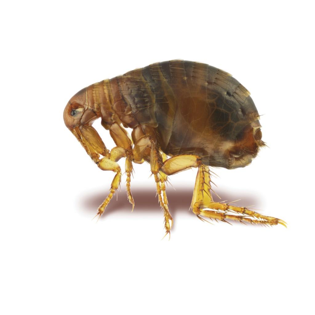 Pest Control Liverpool Fleas