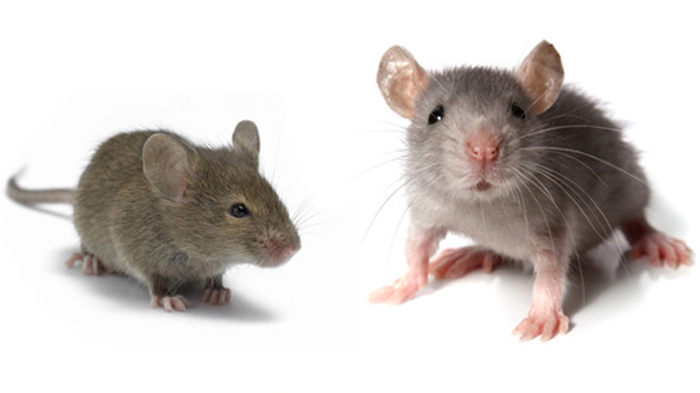 Mice Liverpool, Wirral, Warrington and Chester