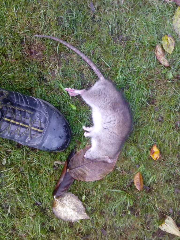 pest control liverpool lawn rat