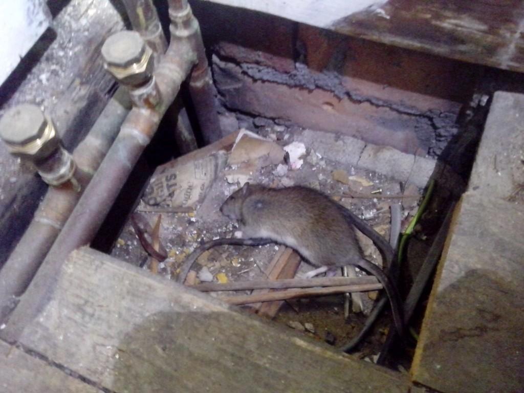 pest control liverpool rats